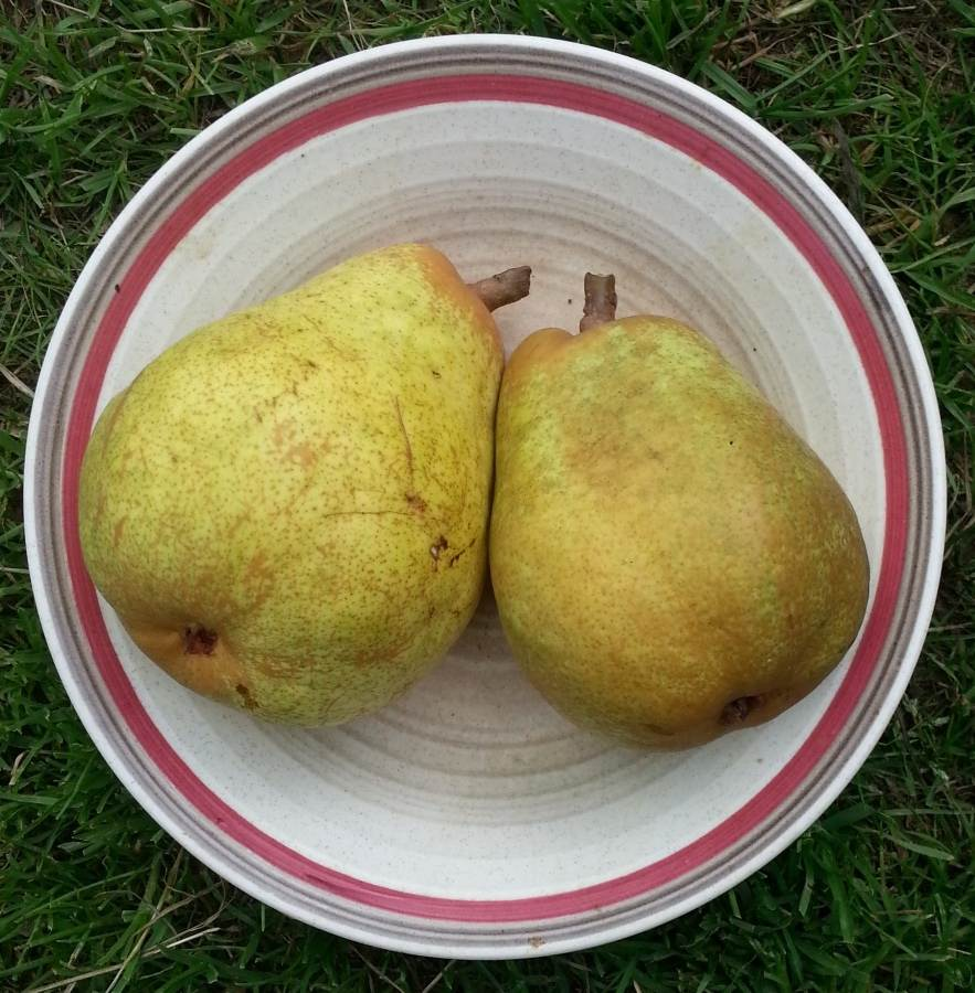 2 pears in a bowl