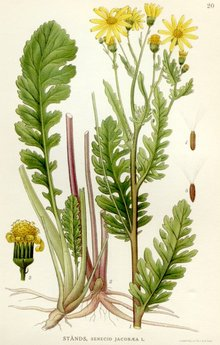 Drawing of ragwort
