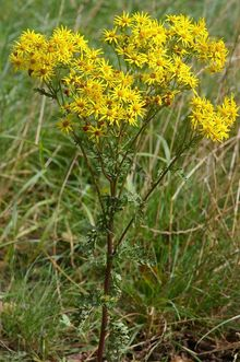 Photo of ragwort