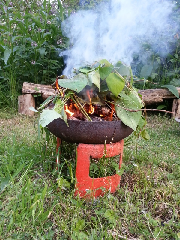 japanese knotweed burning